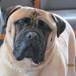 Rockford Veterinary Clinic Photo Gallery Mastiff